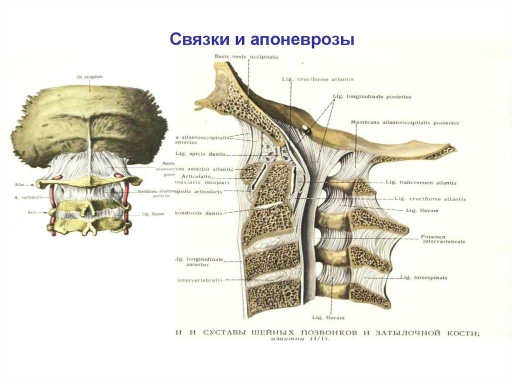 Атланто-окципитального сустав наросты на суставах руки