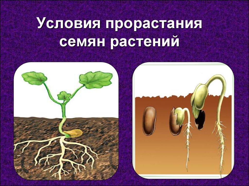 бархатцы глубина заделки семян