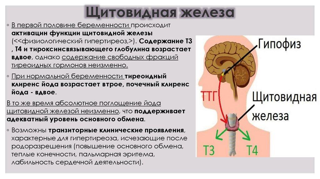 Щитовидная железа функции в организме