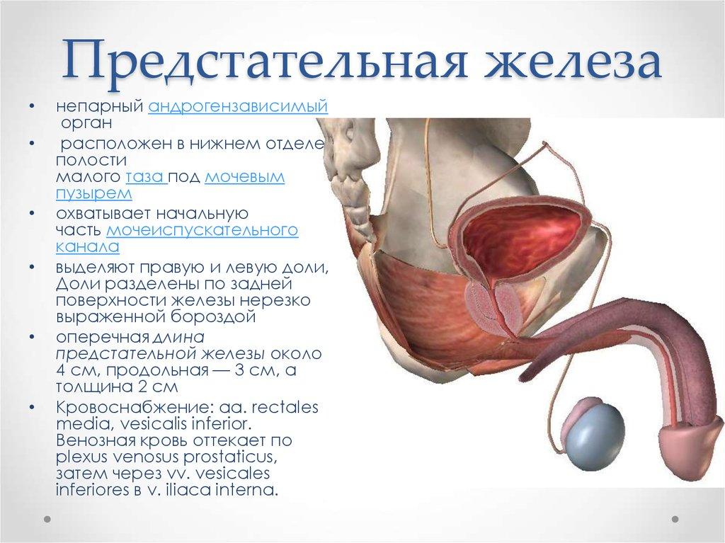 Где находится аденома предстательной железы