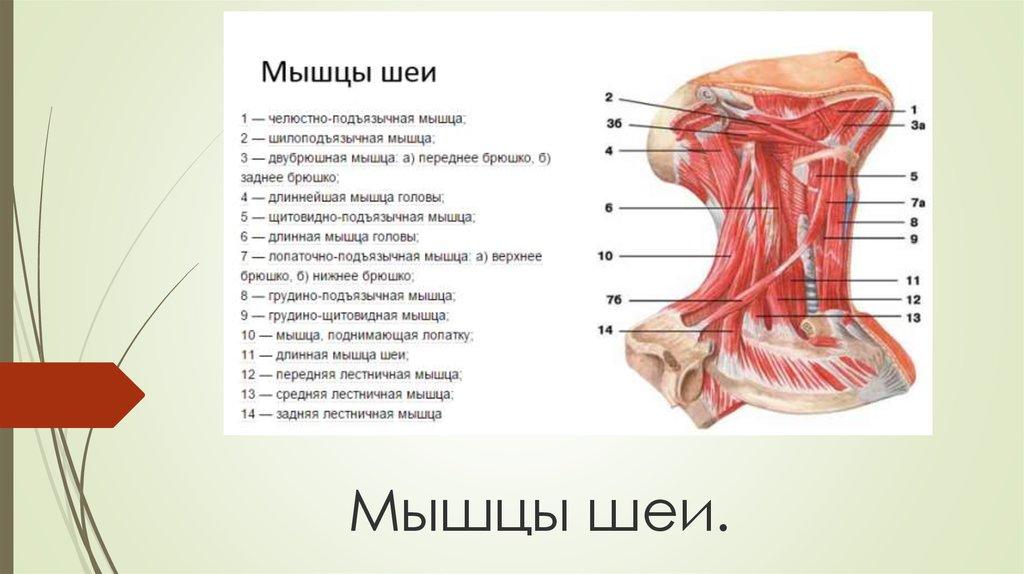 Строение шеи человека спереди описание в картинках