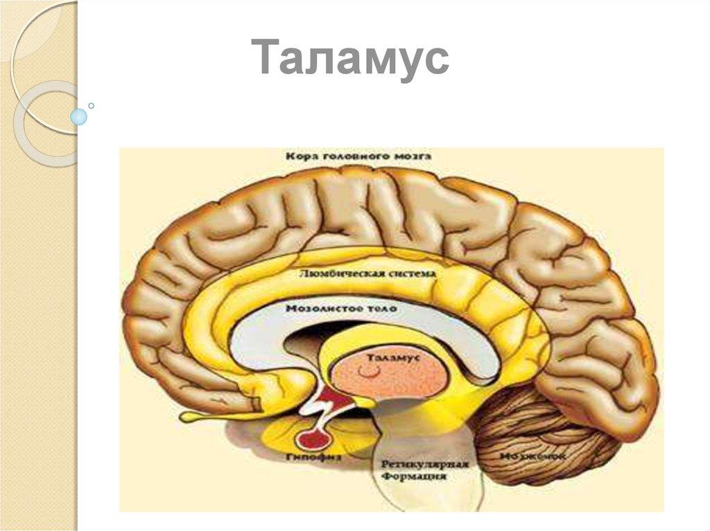 Таламуса складають бічні стінки iii шлуночка.