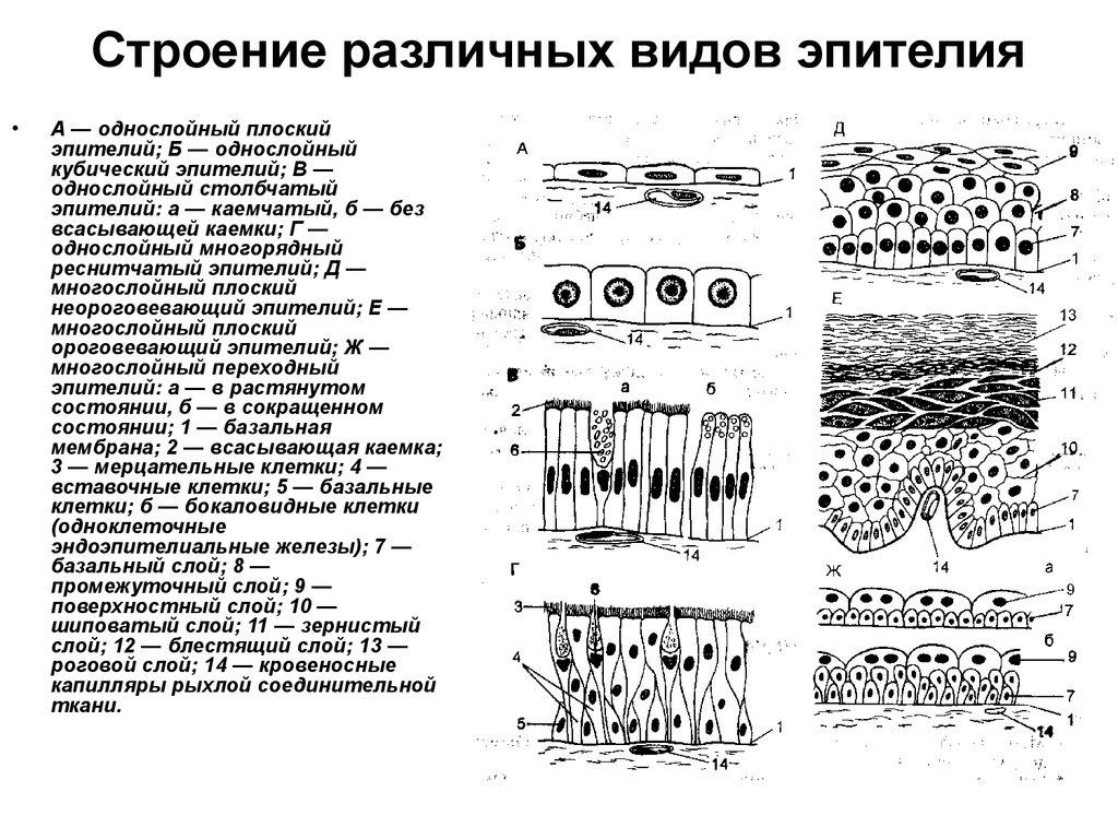 выставке фото всех типов эпителия этого