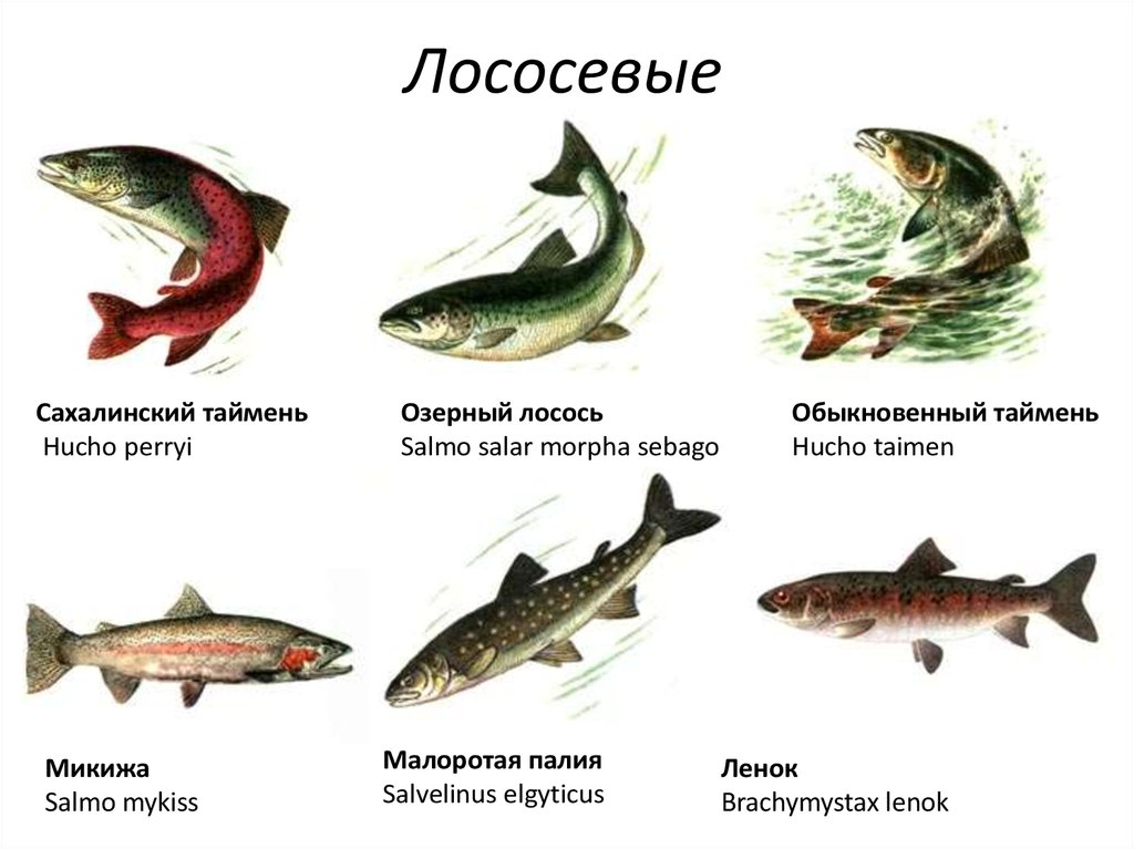 виды лососевых картинки шукають гарні природні