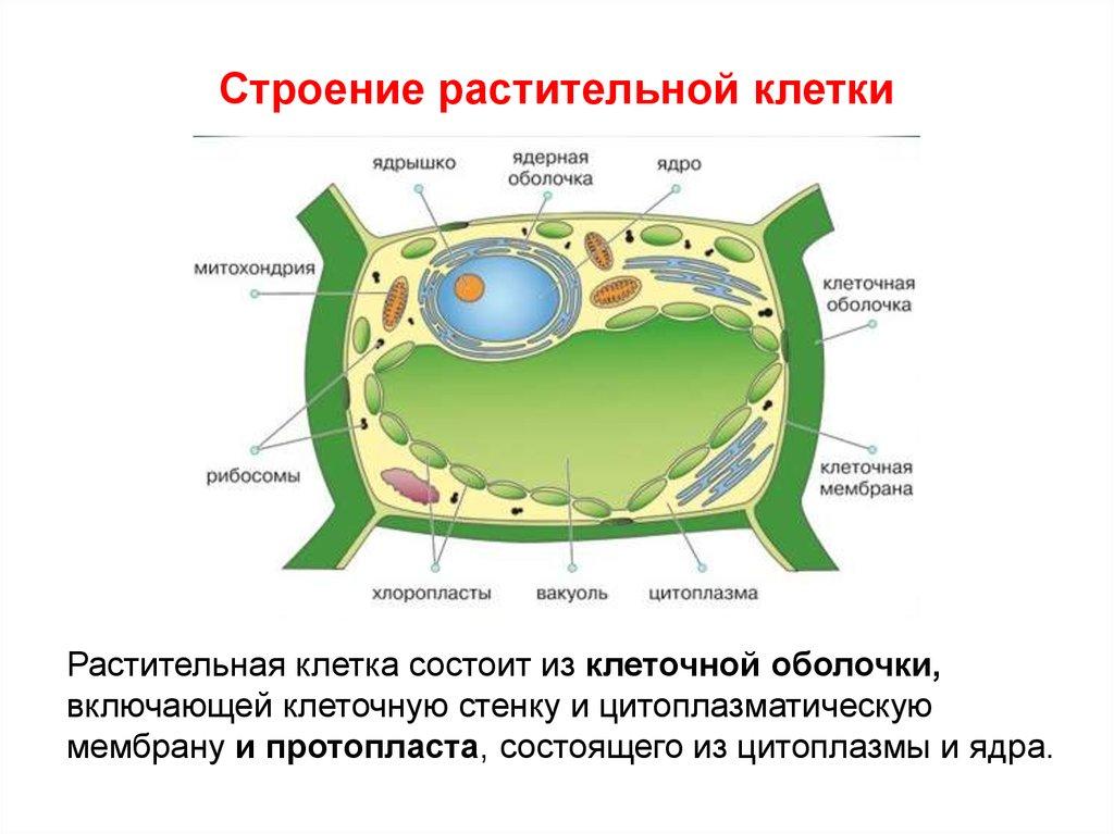 биология 6 класс растительная клетка
