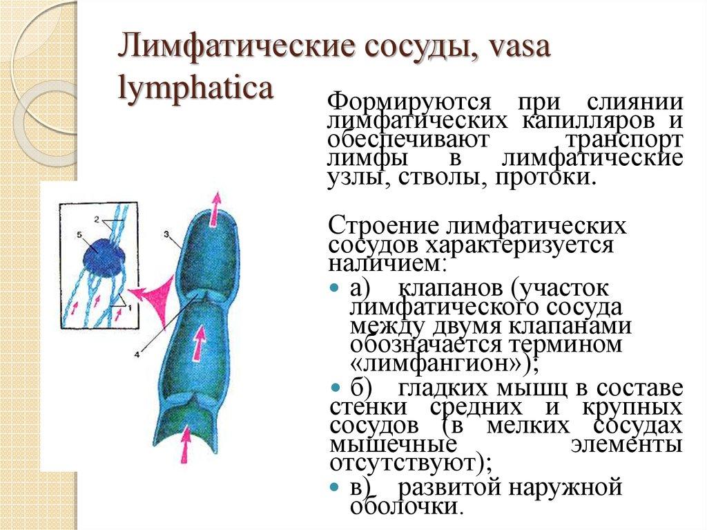 Картинка лимфатического сосуда