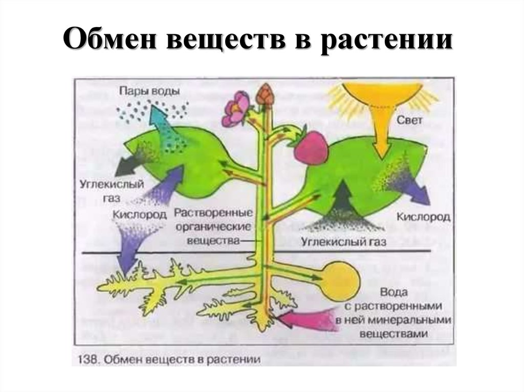 Обмен веществ растения картинки с названиями