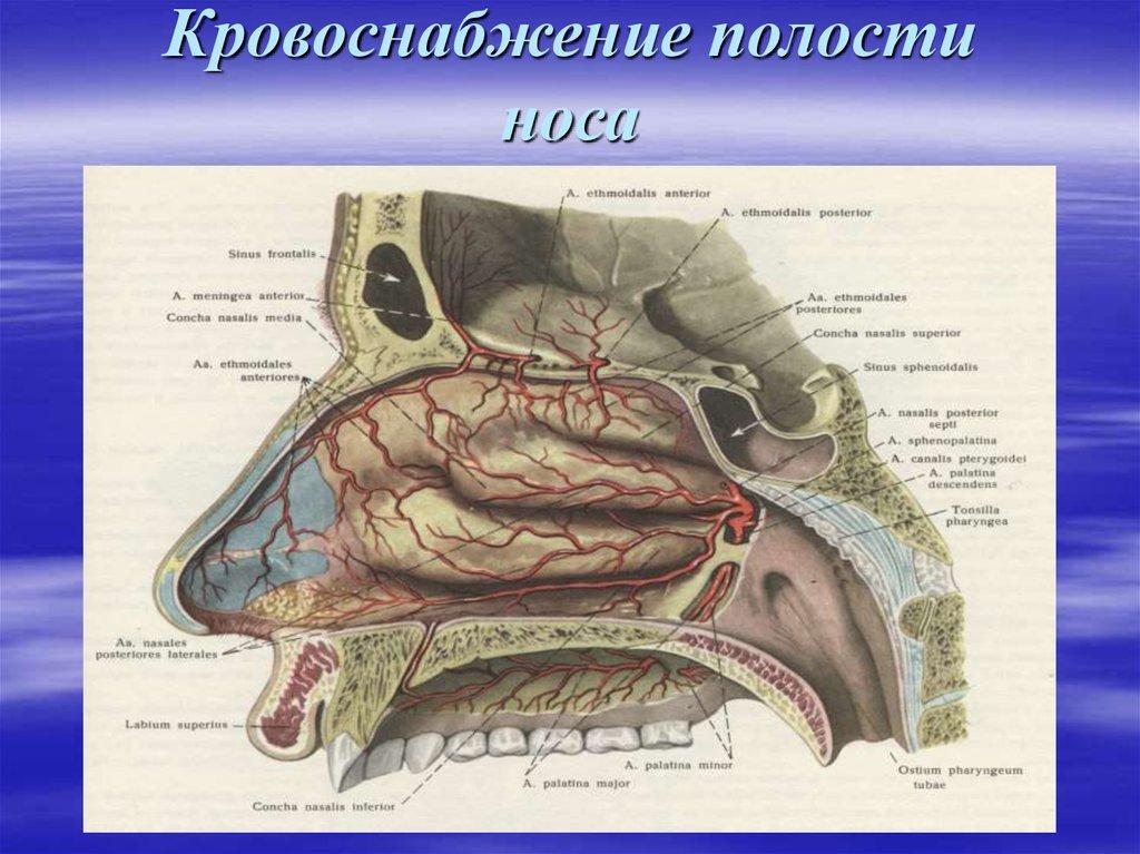 причины, картинка анатомии зоны киссельбаха является