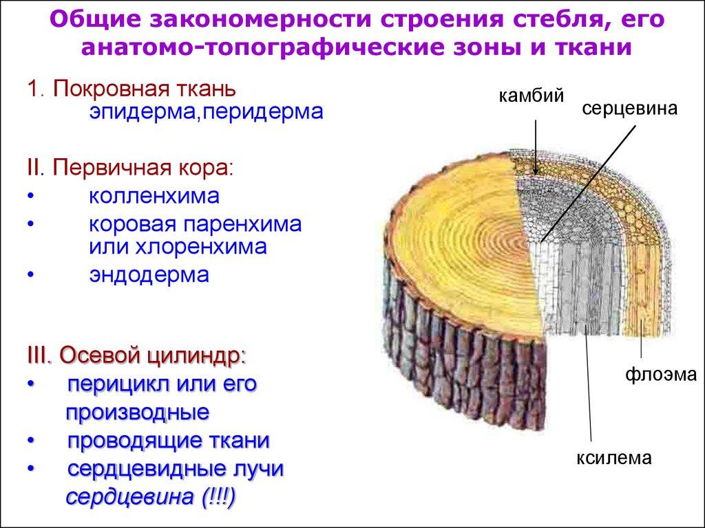Анатомическое строение вторичной коры стебля древесных покрытосемменных и голосеменных