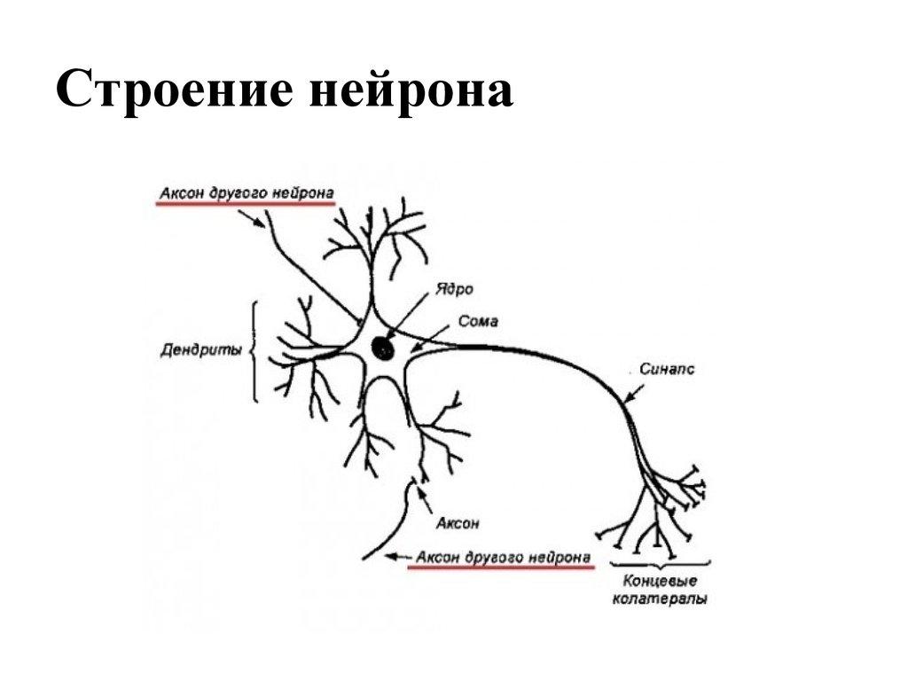 картинка нейрона с обозначениями диапазоны, которые реагирует