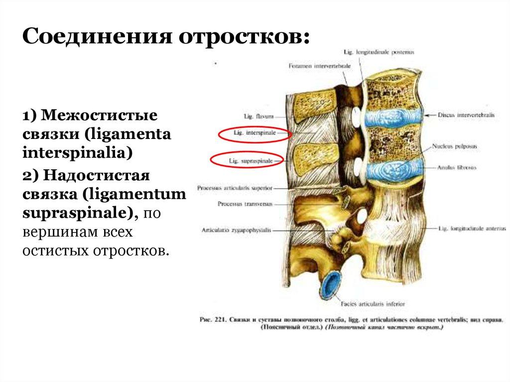 Großartig Ligamentum Supraspinale Galerie - Menschliche Anatomie ...