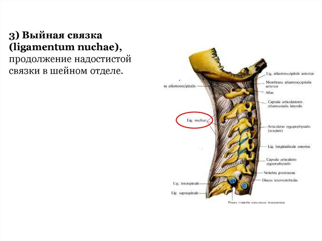 Groß Ligamentum Supraspinale Fotos - Anatomie Ideen - finotti.info