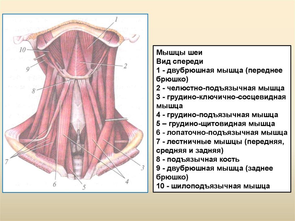 Мышцы шеи. Строение и тренировки. | ВКонтакте | 767x1024