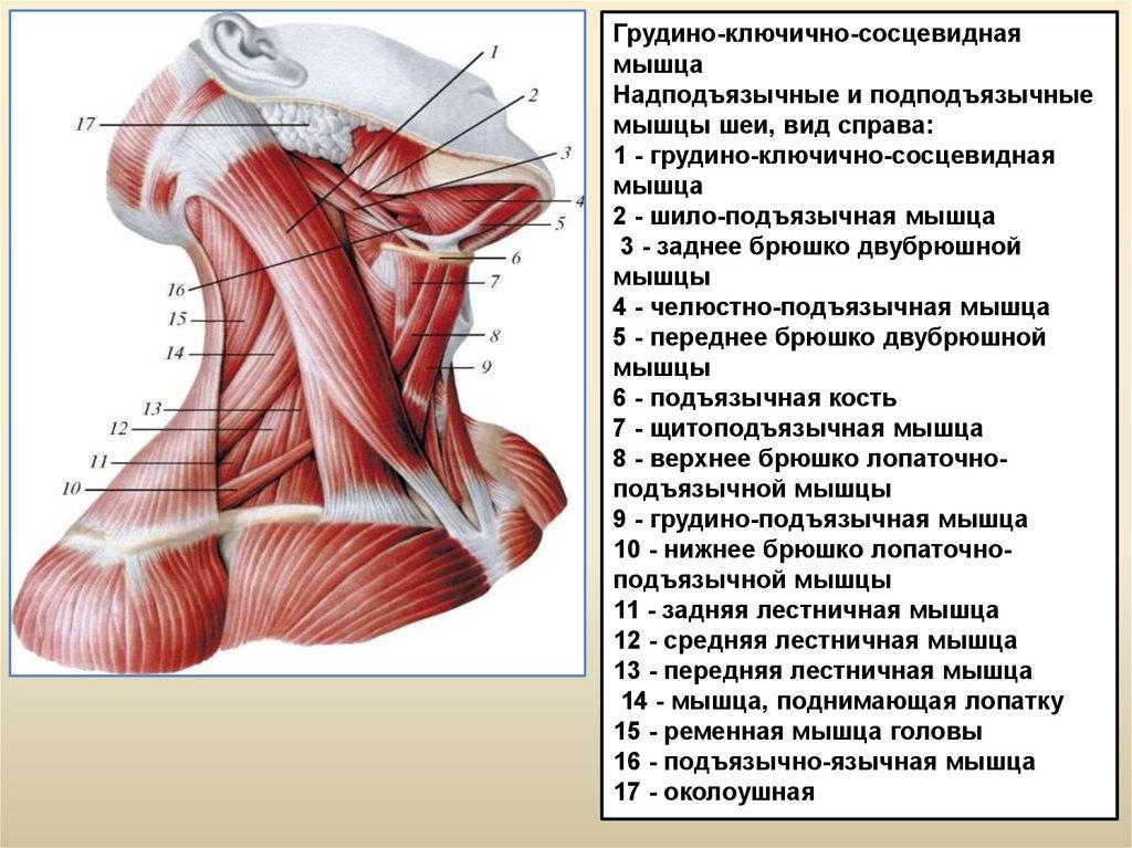 анны мышцы шеи фото с описанием и схемами амебы обыкновенной