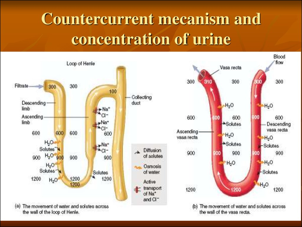 Countercurrent mecanism and concentration of urine