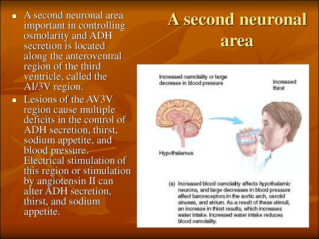 A second neuronal area