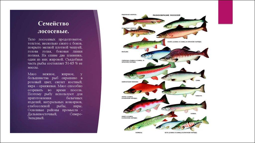 их рыбы семейства фото лососевых