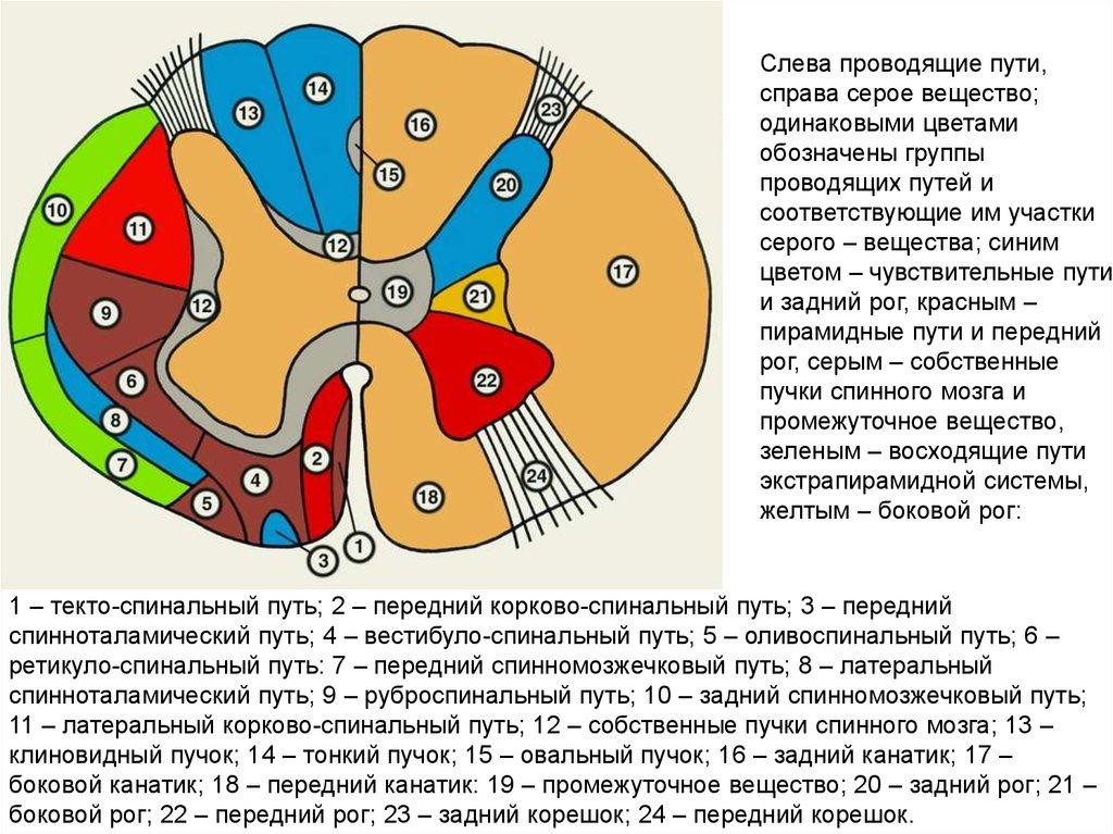 Реферат проводящие пути спинного мозга 7608