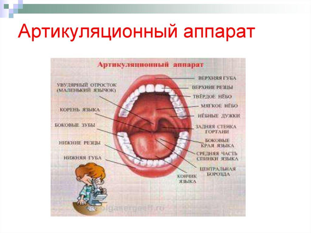 доказали картинка профиль артикуляционного аппарата смоленский государственный медицинский