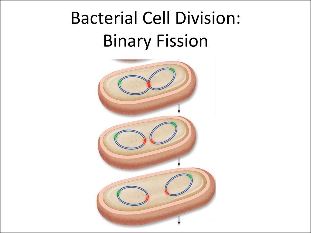 Bacterial Cell Division: Binary Fission