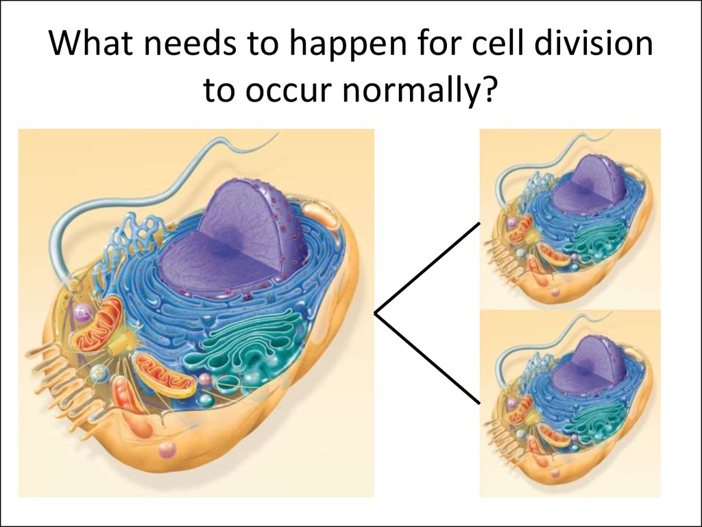 What needs to happen for cell division to occur normally?