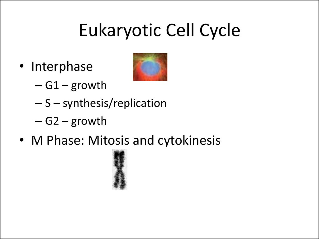 Eukaryotic Cell Cycle