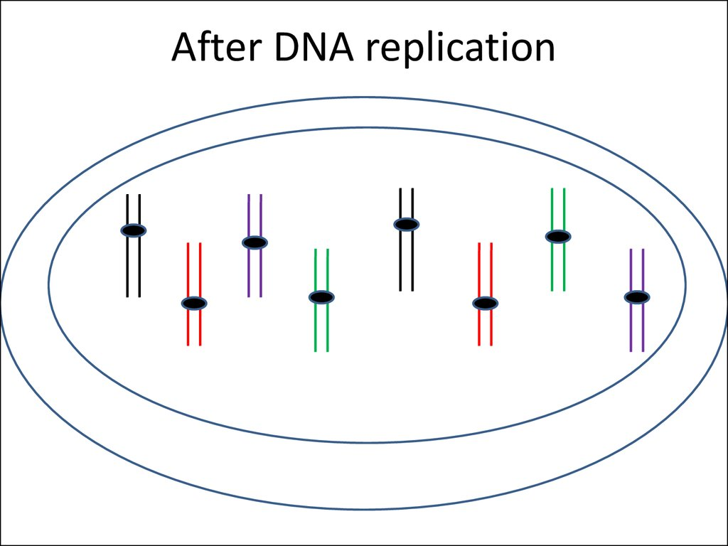 After DNA replication