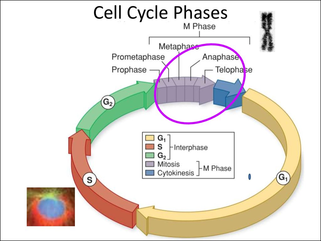 Cell Cycle Phases