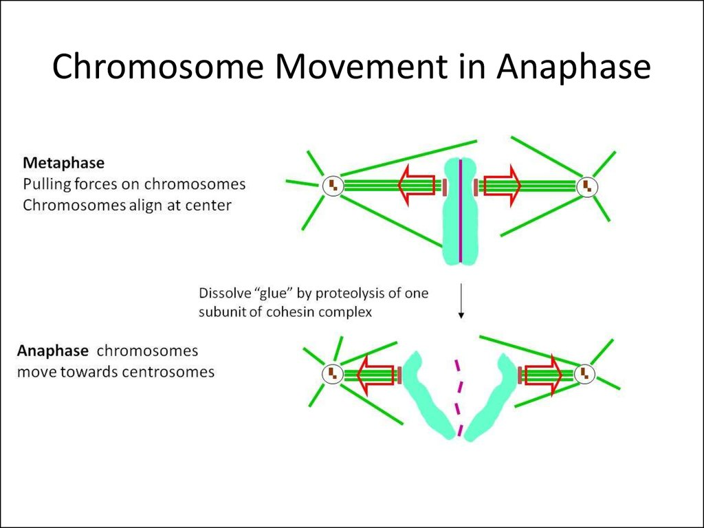 Chromosome Movement in Anaphase