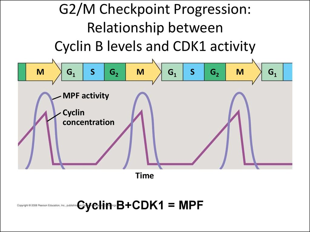 G2/M Checkpoint Progression: Relationship between Cyclin B levels and CDK1 activity