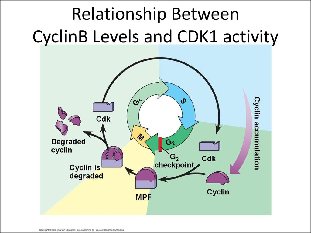 Relationship Between CyclinB Levels and CDK1 activity
