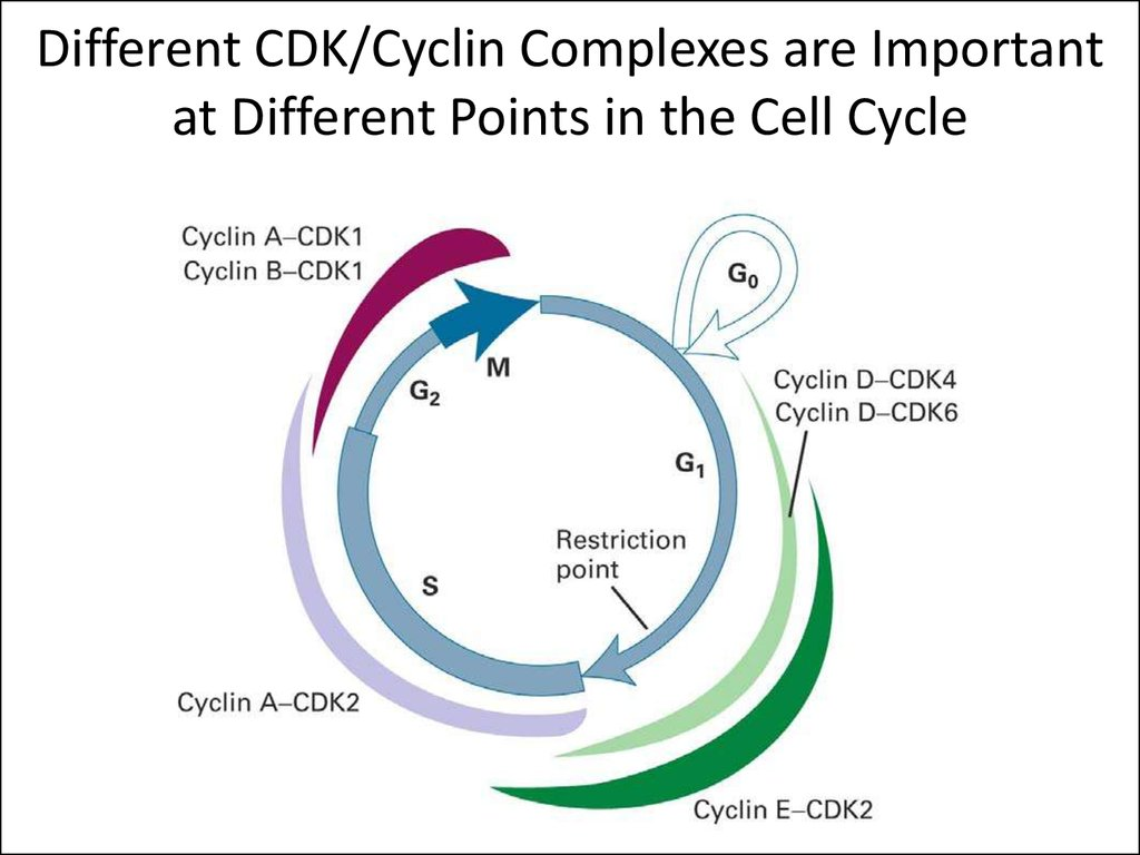 Different CDK/Cyclin Complexes are Important at Different Points in the Cell Cycle
