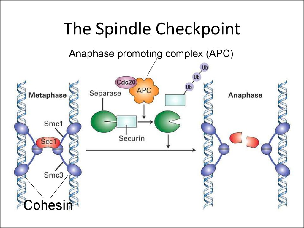 The Spindle Checkpoint