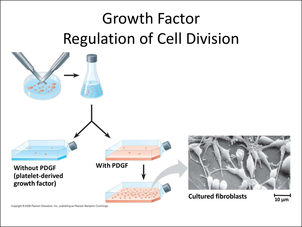 Growth Factor Regulation of Cell Division