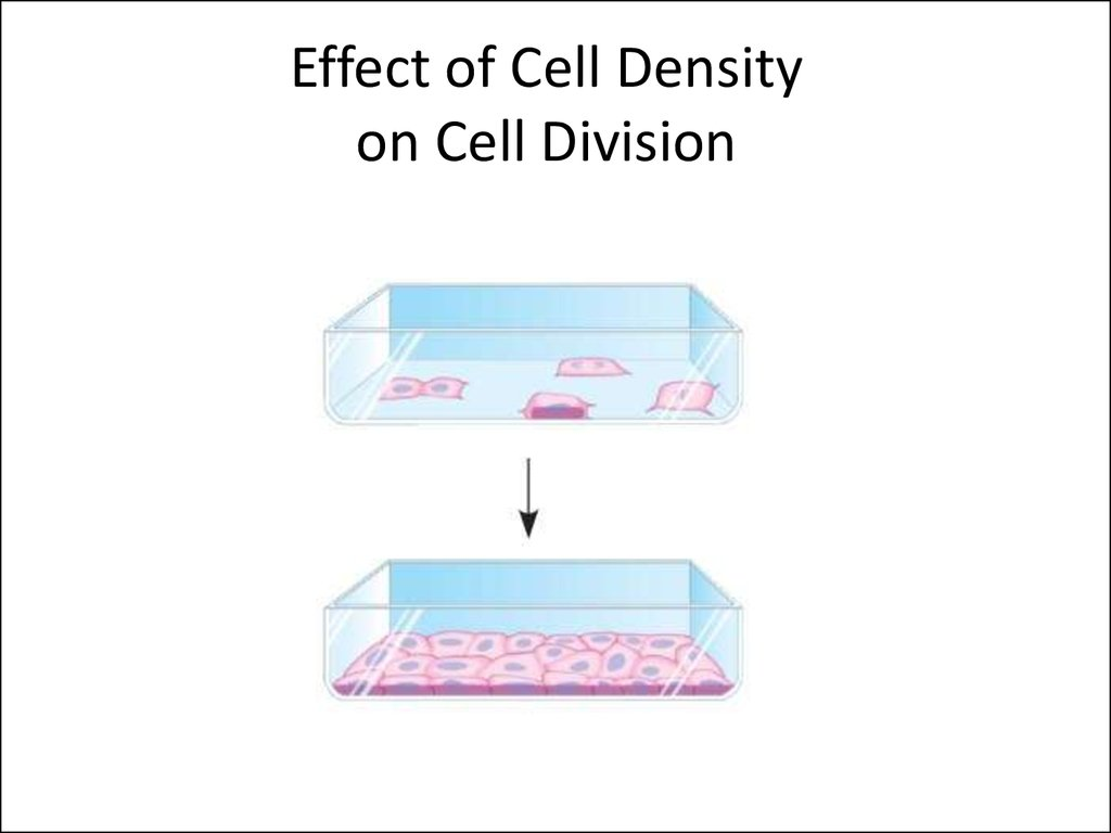 Effect of Cell Density on Cell Division