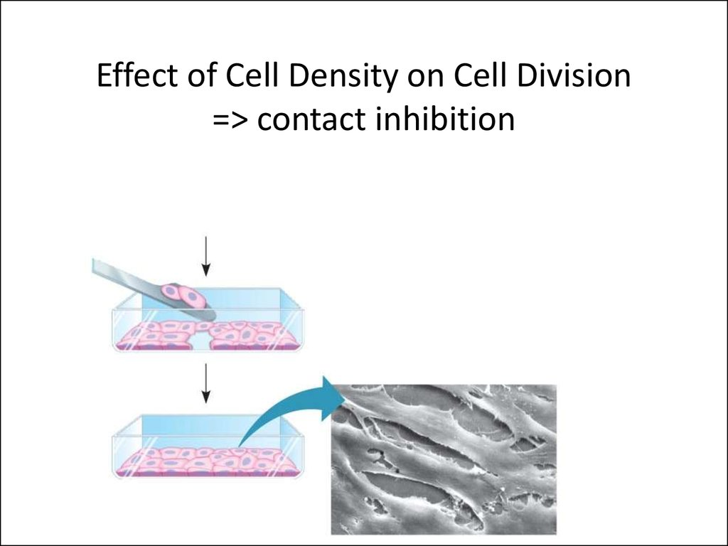 Effect of Cell Density on Cell Division => contact inhibition