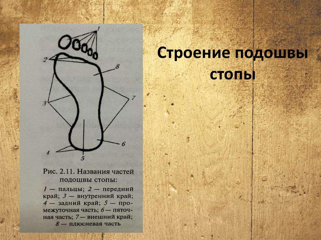 Описание ступни человека в картинках