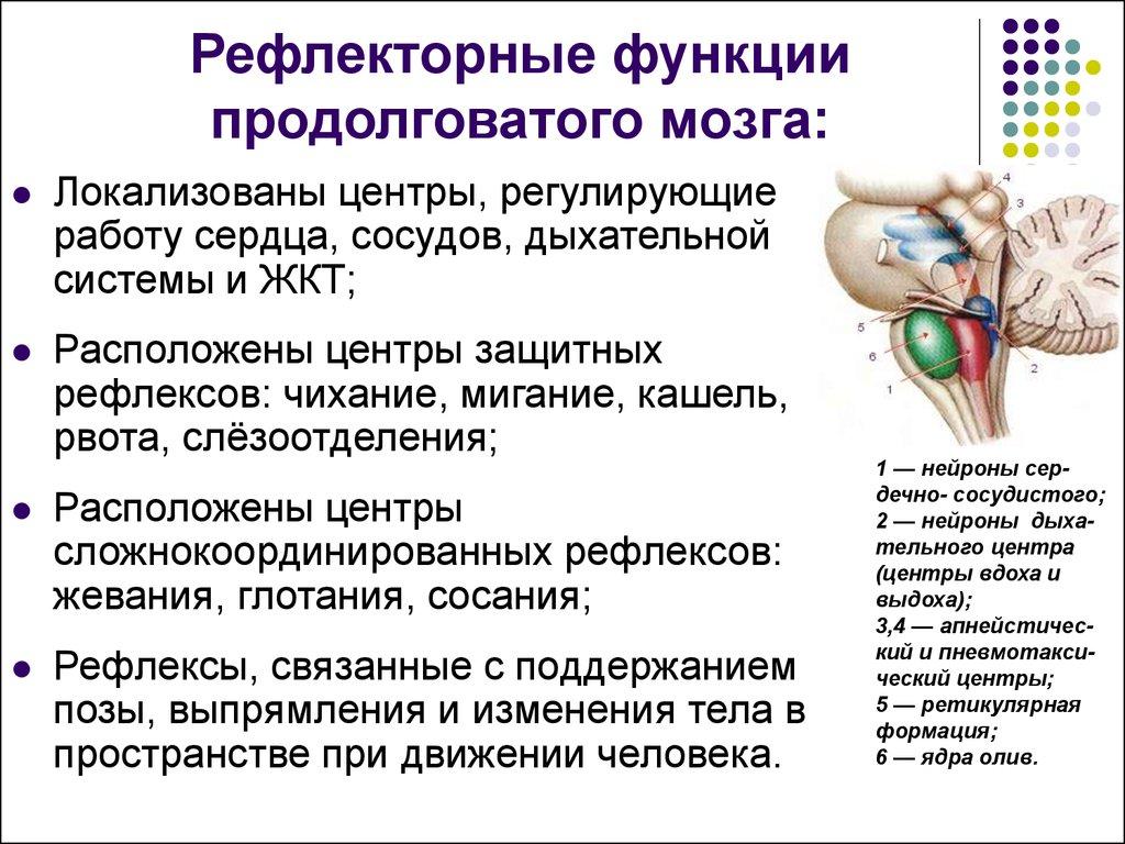 функции спинного и продолговатого мозга