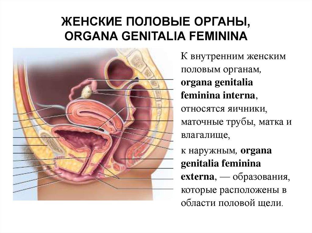 porno-sistema-zhenskih-polovih-organov