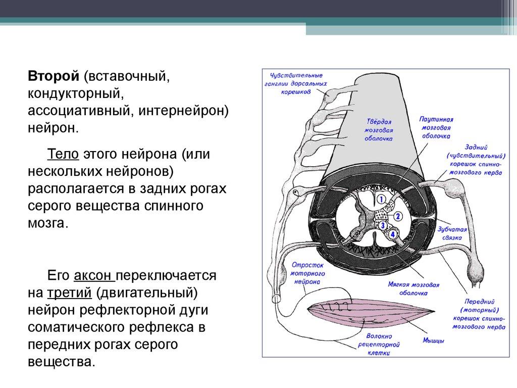 Что такое нейроны Двигательные нейроны: описание, строение и функции 75