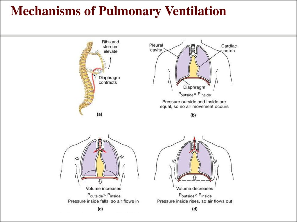 Lung Ventilation System : Respiratory system power point презентация онлайн