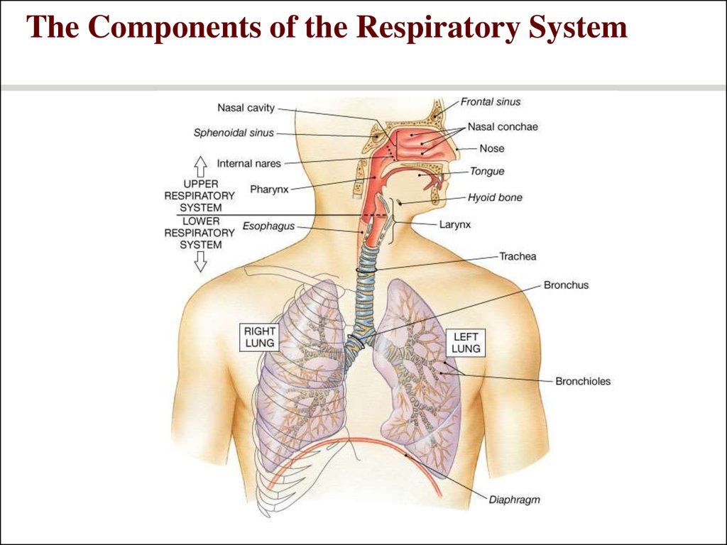 Respiratory system power point - презентация онлайн