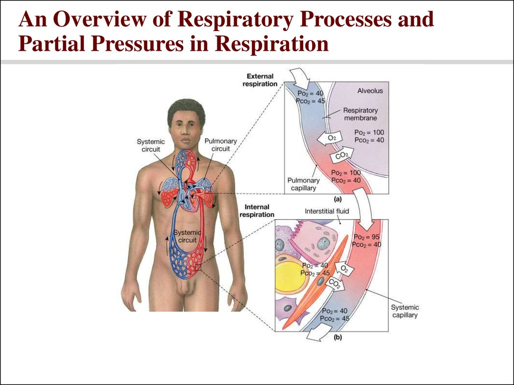 An Overview of Respiratory Processes and Partial Pressures in Respiration