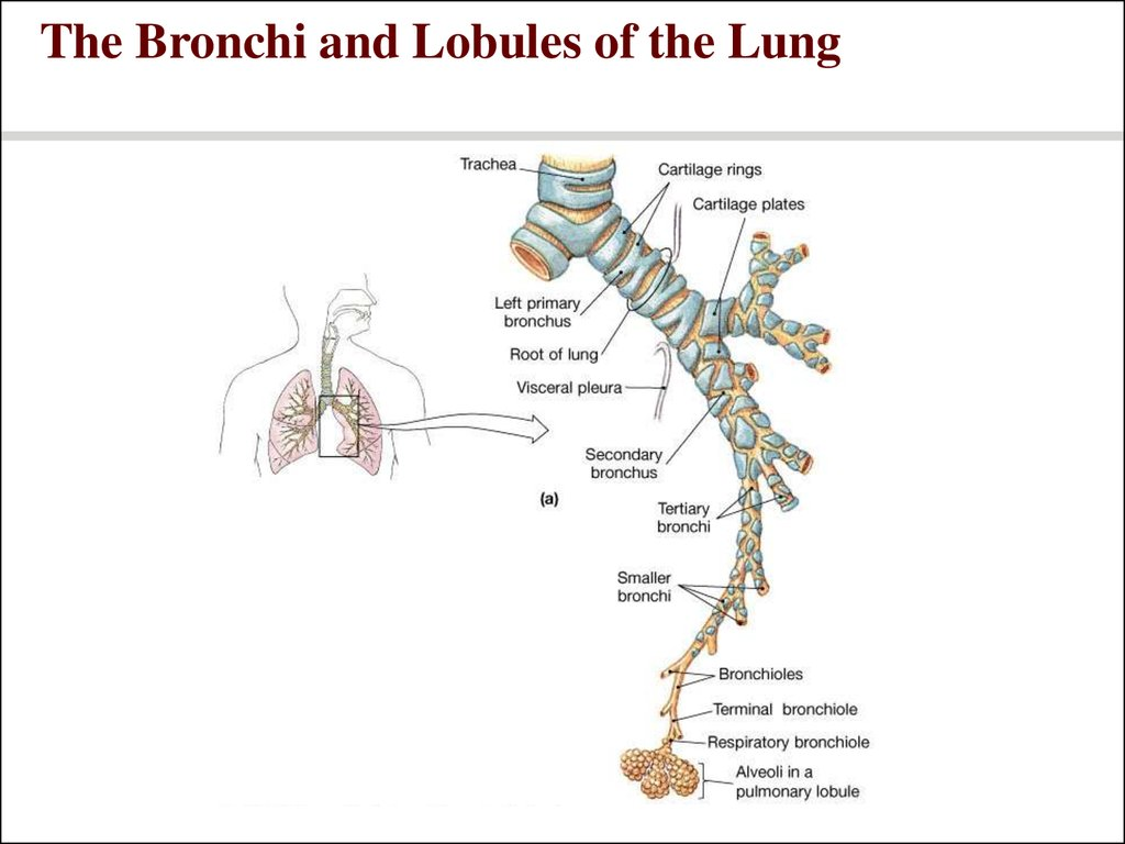 The Bronchi and Lobules of the Lung