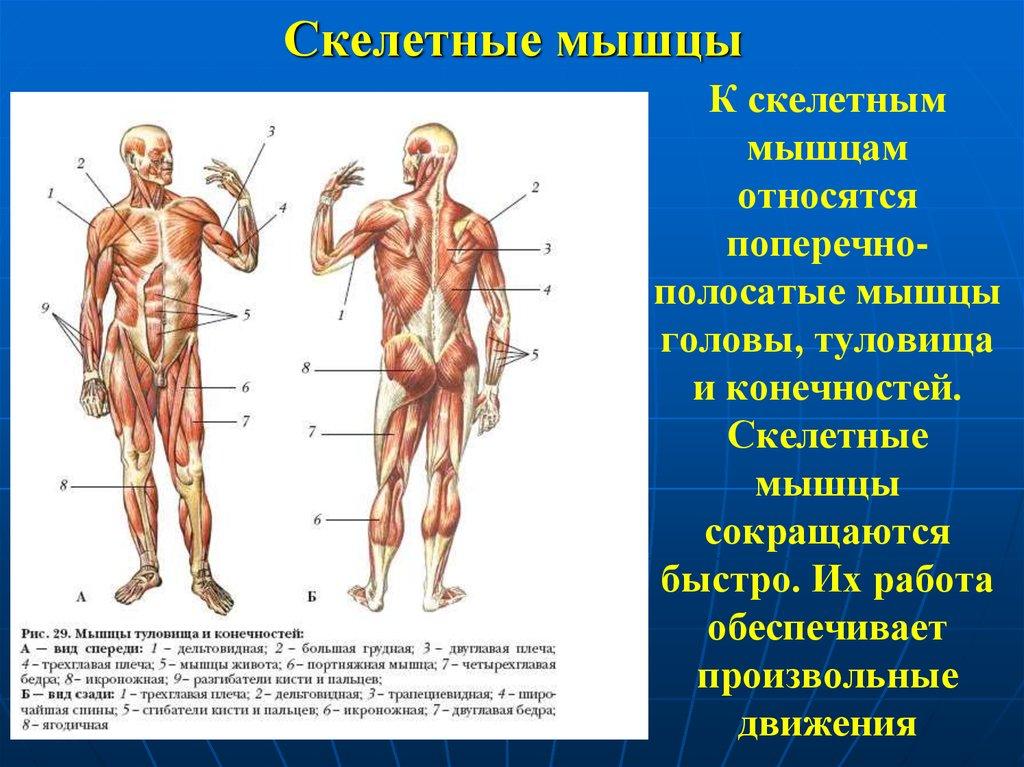 поздравления скелетные мышцы выполняют функции сторож