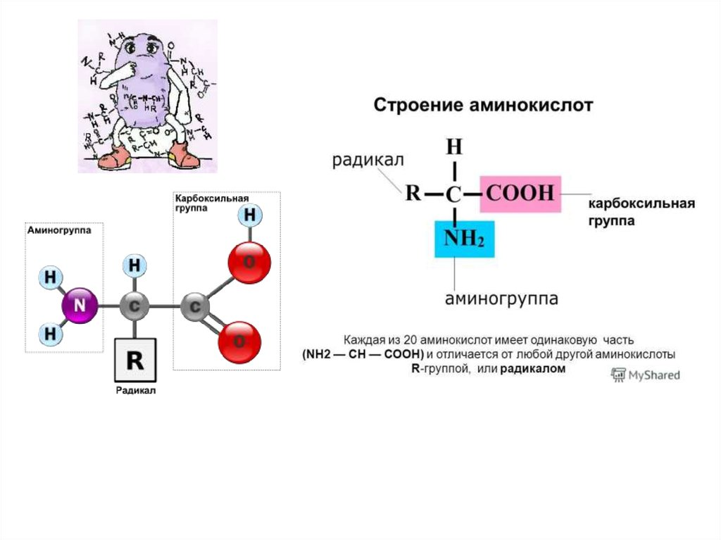 Пептиды строение и функции как можно быстро накачаться в зале