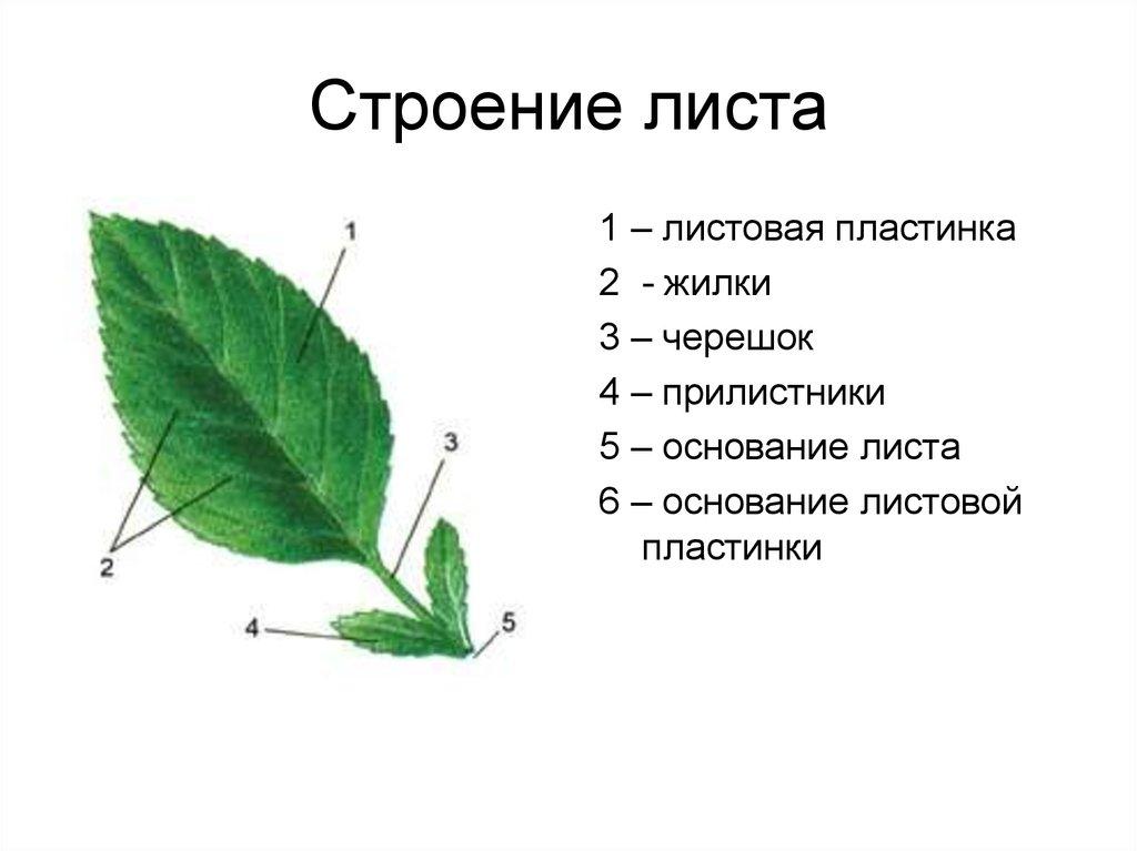 Внешнее строение листа картинка