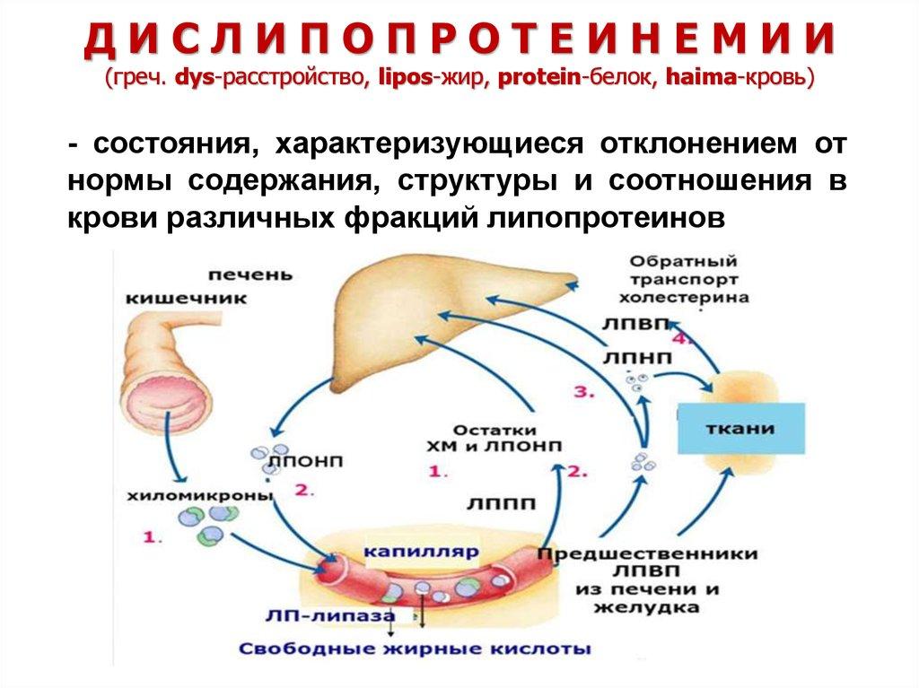 Нн аничков сс халатов холестериновая теория
