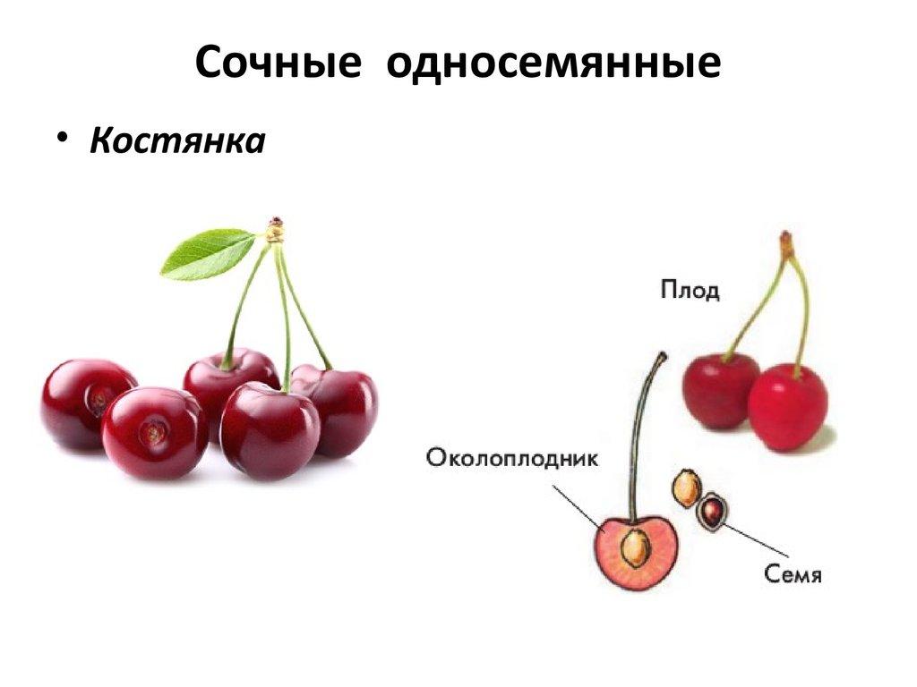 строение плода вишни в картинках элементы