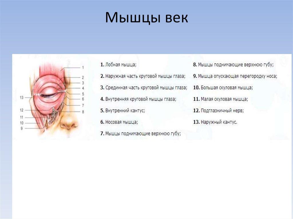 мышцы верхнего века в картинках если ибрагим был